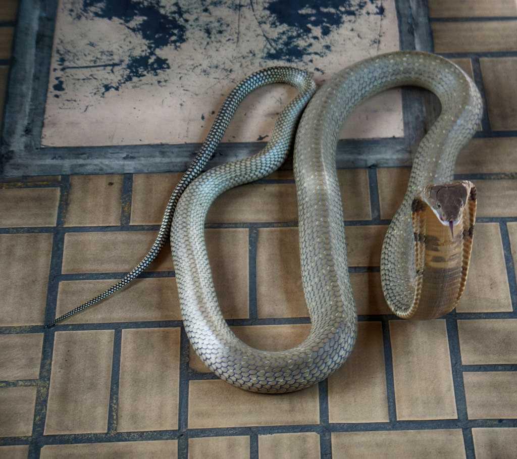 King Cobra at Snake Farm Bangkok