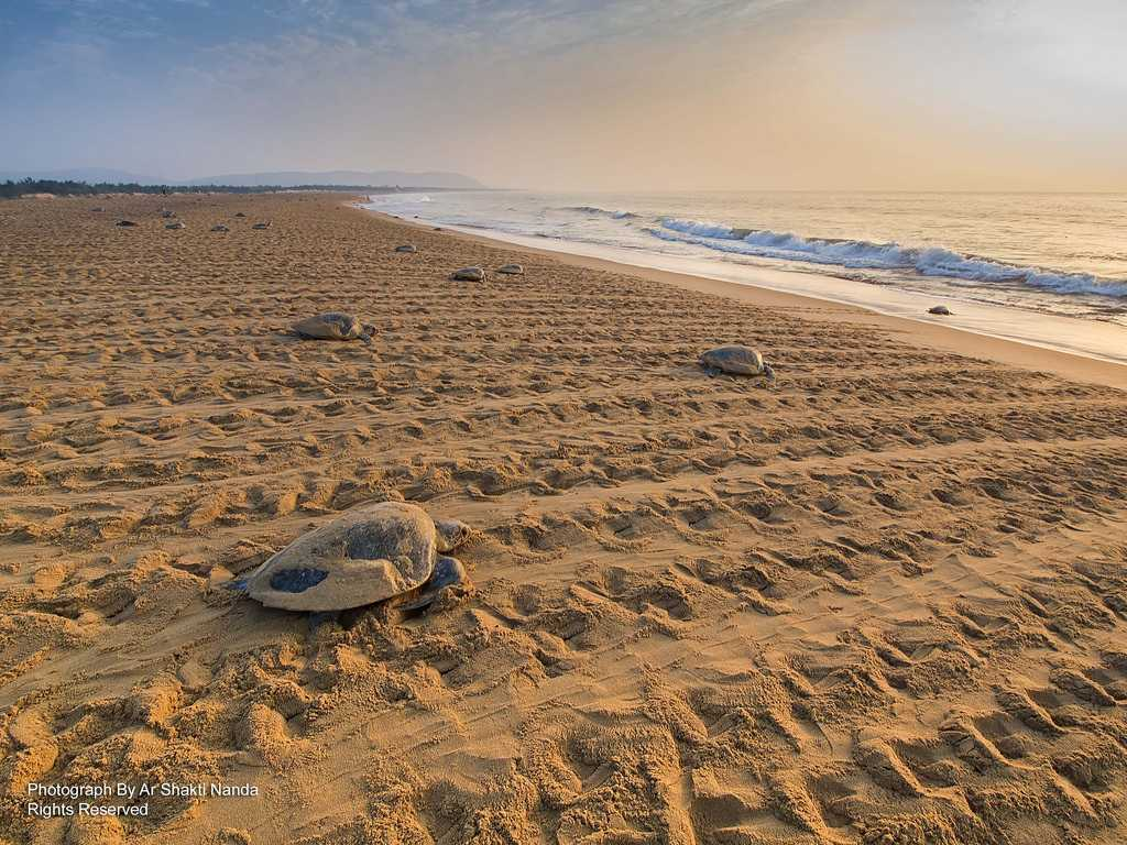 Olive Ridley Turtles at Rushikulya Beach