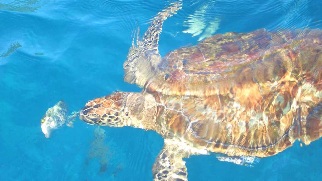 Sea Turtle seen when Snorkelling in Similan Islands Thailand