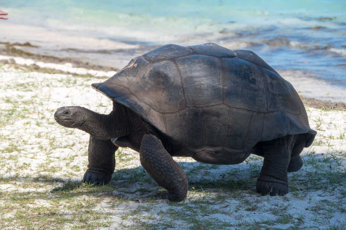 Aldabra Tortoise at Curieuse Island Seychelles