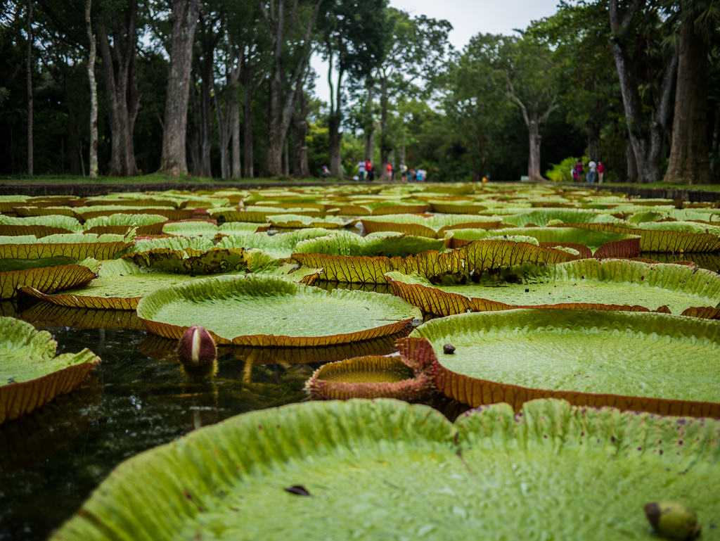 Giant water lilies, Mauritius in December