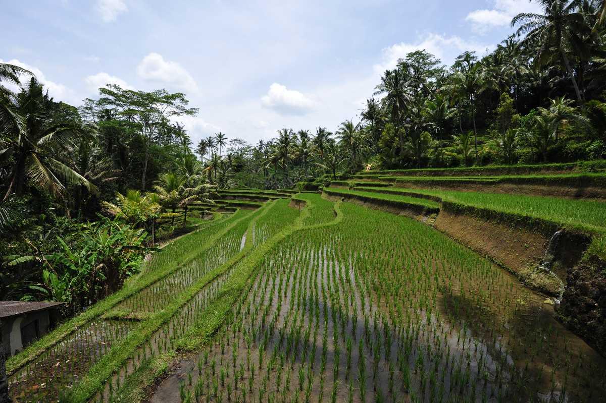 Paddy Fields Gunung Kawi Bali