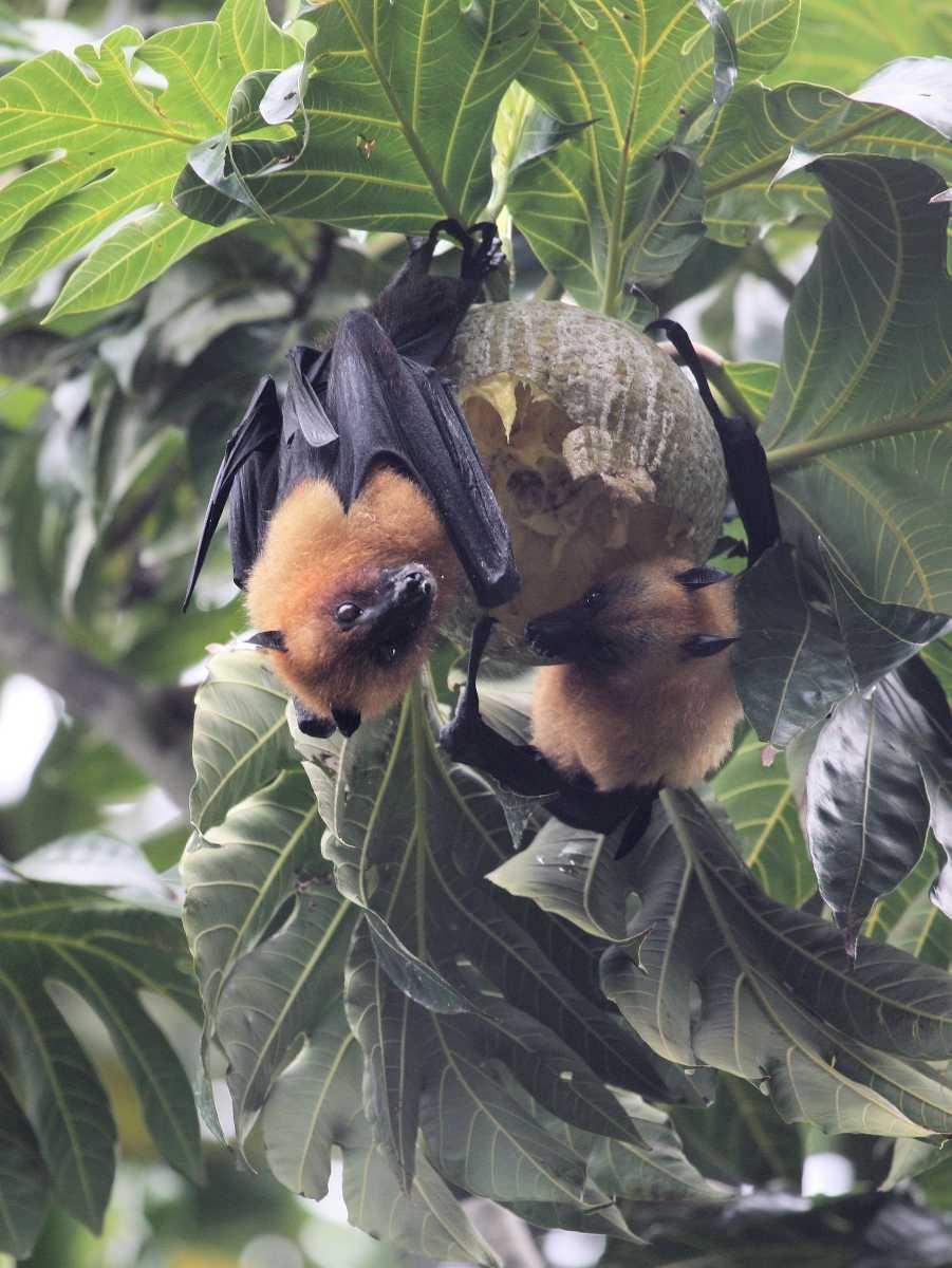 Fruit Bat, wildlife in Seychelles