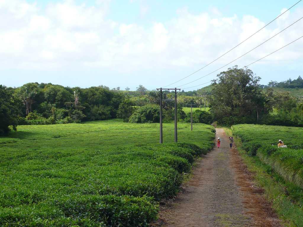 Bois Cheri tea plantation, Food in Mauritius