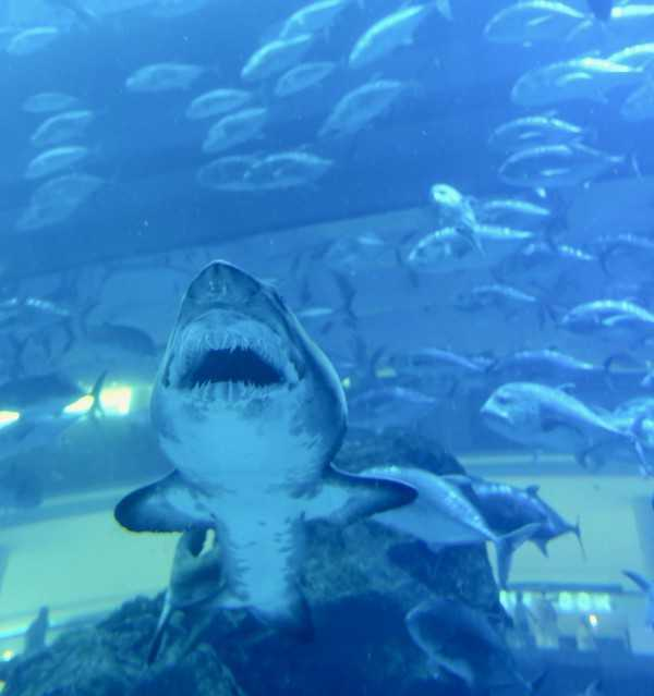 Sand Tiger Shark at Dubai Aquarium & Underwater Zoo