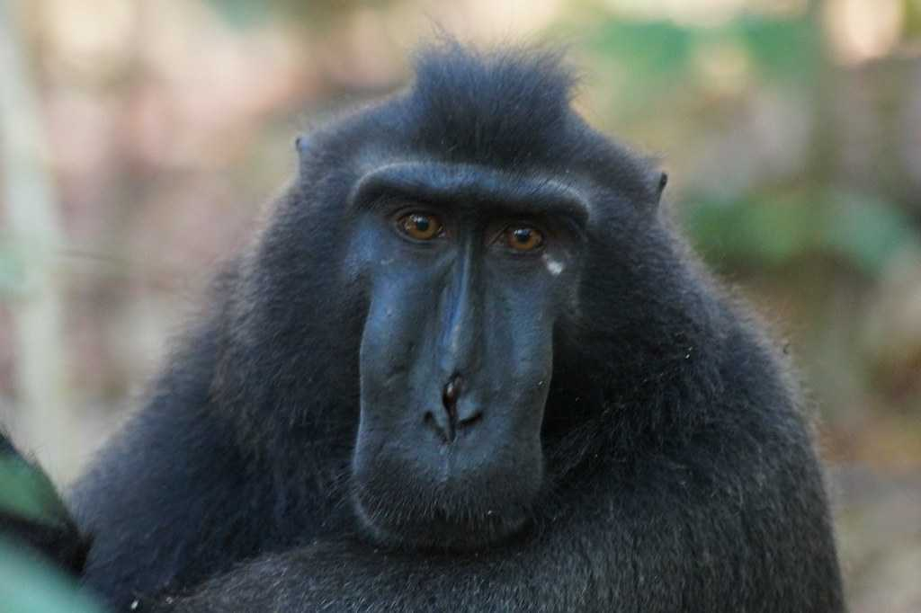 Black Macaque, Indonesia