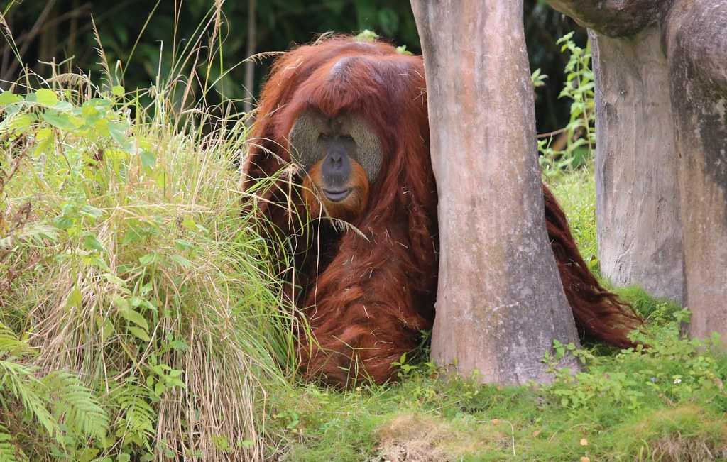 Sumatran Orangutan, Indonesia