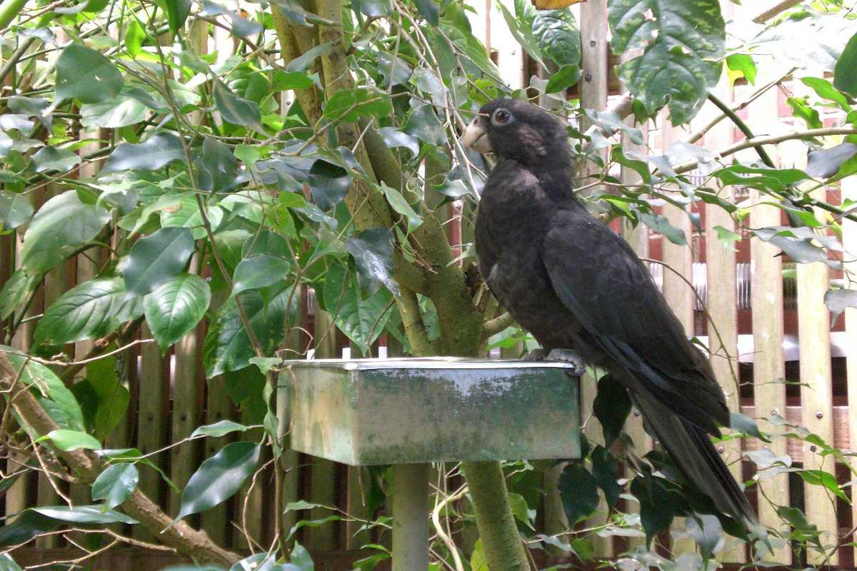 Seychelles Black Parrot, Wildlife in Seychelles