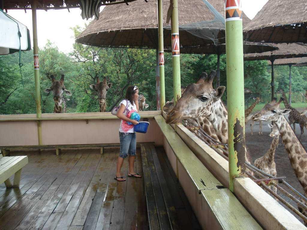Giraffe Feeding at Safari World Bangkok