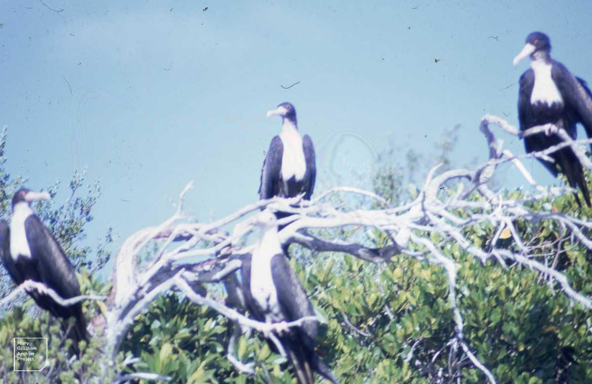 Frigate birds, Wildlife in Seychelles