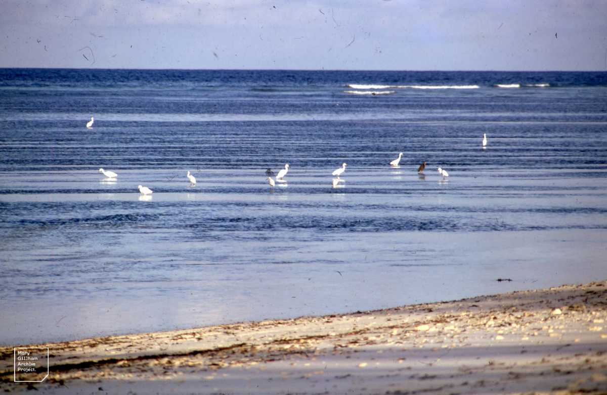Cattle egret, Wildlife in Seychelles