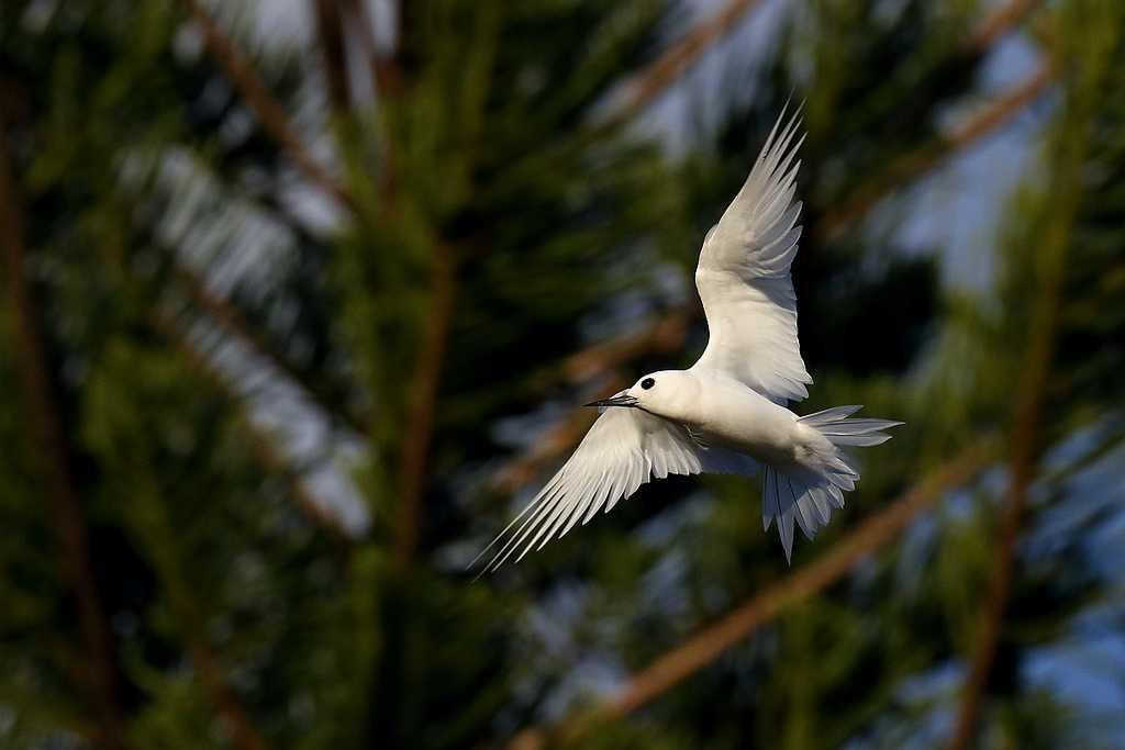 White tern in Maldives