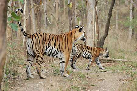 Achanakmar Tiger