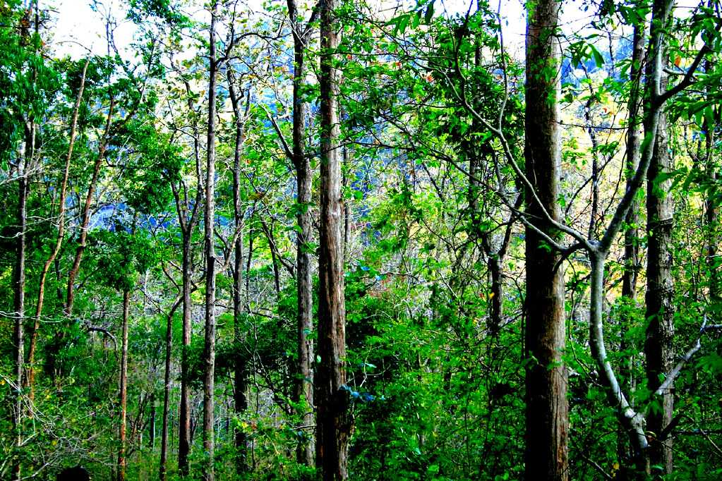 Home to world's oldest teak trees