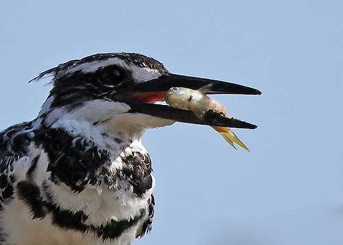 Winter Season, Rajaji National Park, Pied Kingfisher