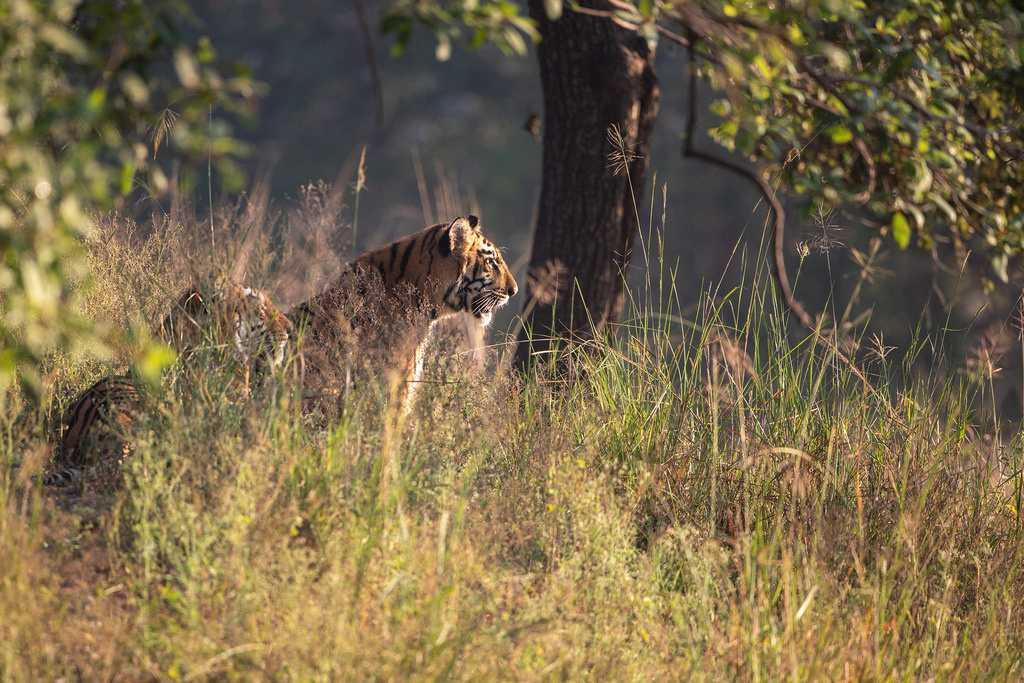 Bengal Tigers, Tadoba National Park
