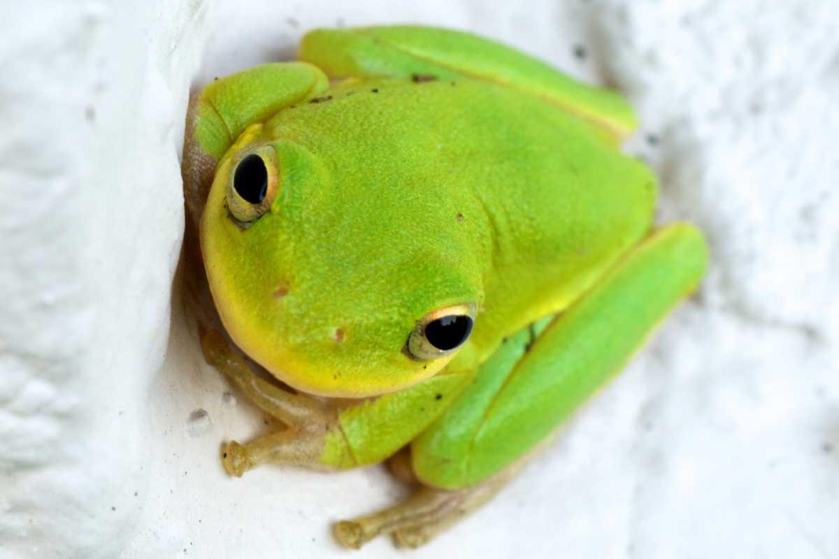 Seychelles tree frog, Wildlife in Seychelles