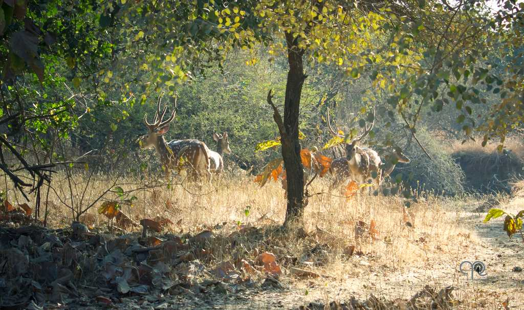 Herd of deer, Gir National Park