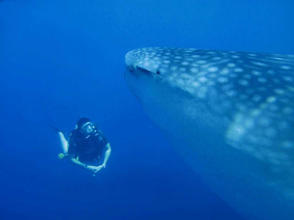 Whale Shark at Chumphon Pinnacle Thailand