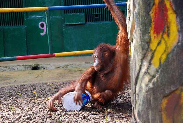 Orangutan at Ragunan Zoo