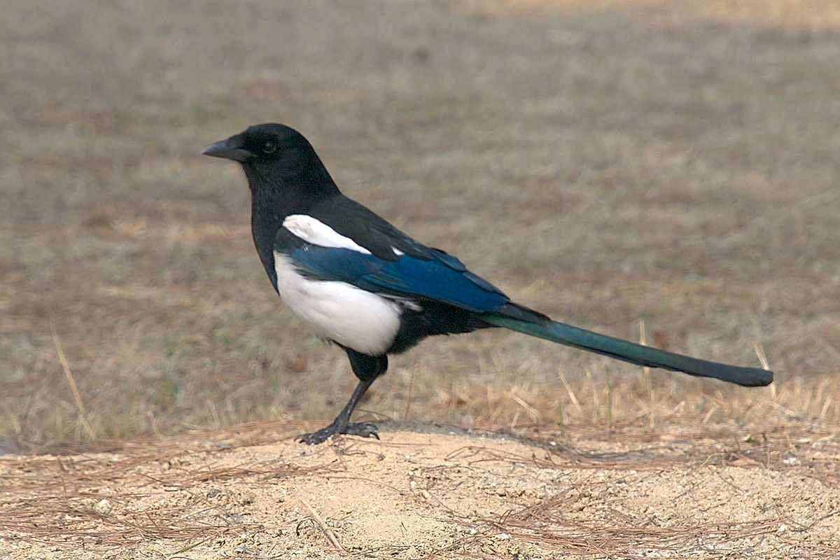 Black Magpie, Wildlife Sanctuaries in Bhutan