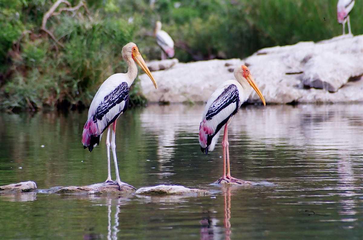 essay on ranganathittu bird sanctuary