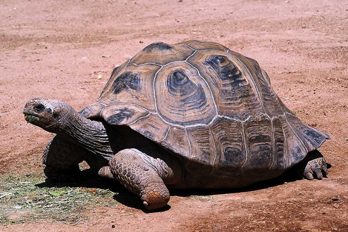 Aldabra tortoise, Wildlife in seychelles
