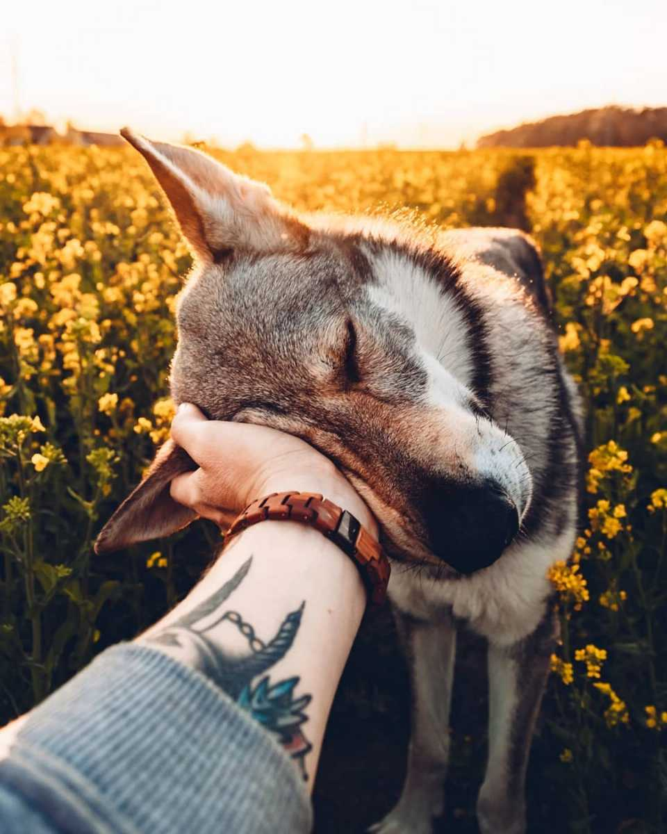 sitka the wolf dog posing with sunset