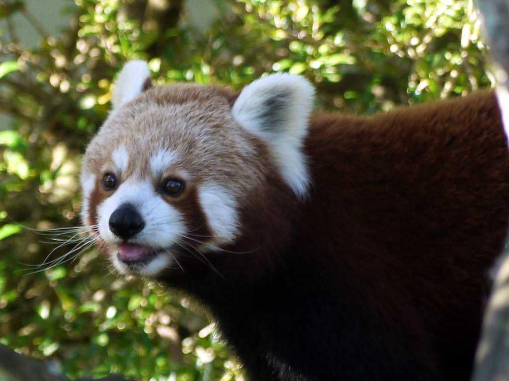 Red-panda at Auckland Zoo