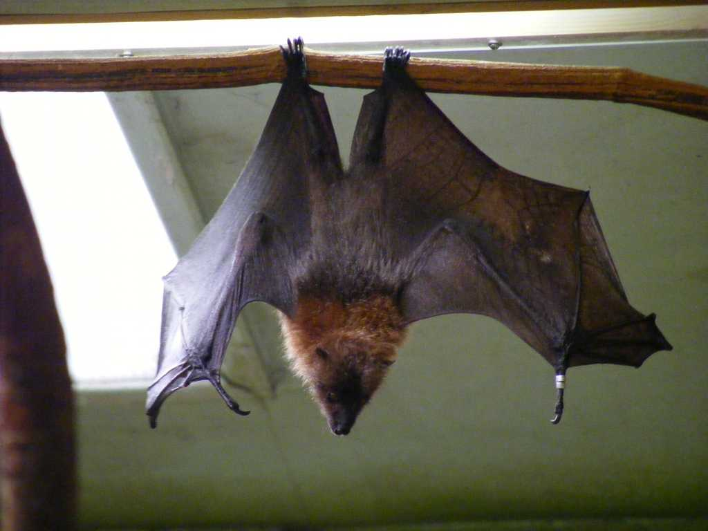 Bats in Rodrigues island