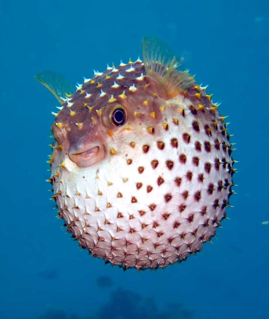 Puffer fish, National Parks in Seychelles