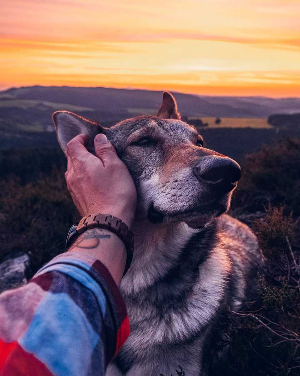 Sitka the wold dog enjoying sunsets