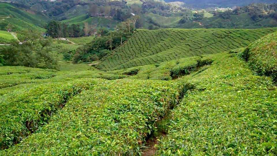 BOH Tea Plantation, Cameron Highlands - Holidify