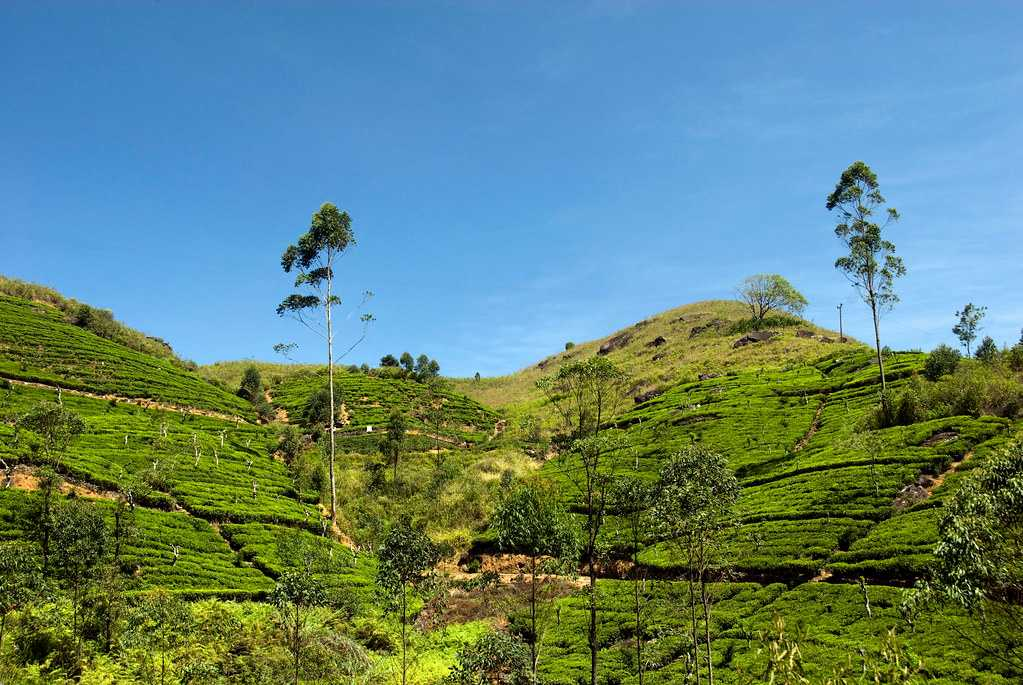 Luscious Tea Plantations