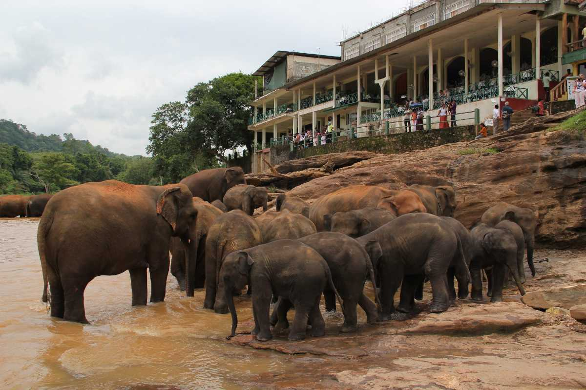 Pinnawala Elephant Orphanage, Elephants in Sri Lanka