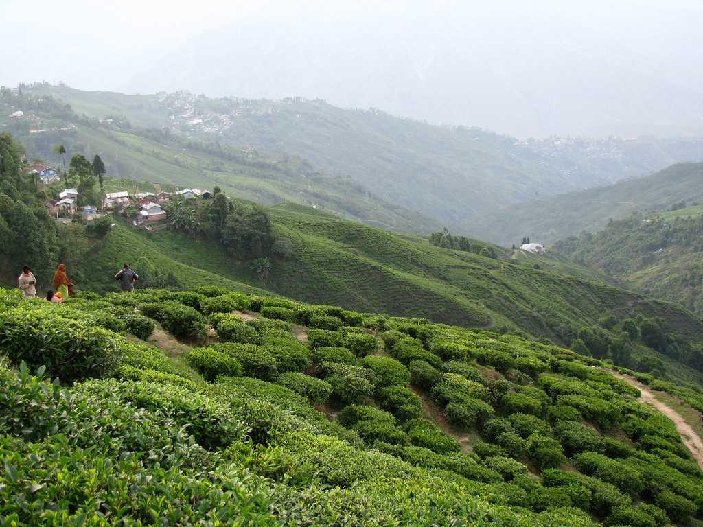 Tea Plantations in Darjeeling - Tea Tourism @Holidify