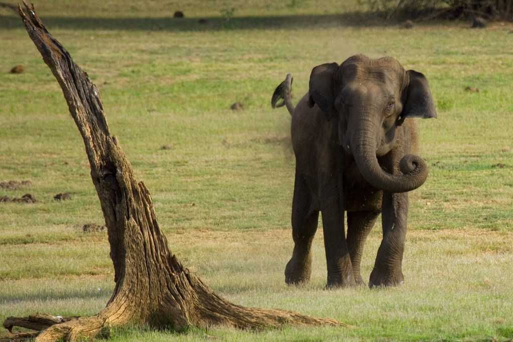 Charging Elephant in Kabini Forest