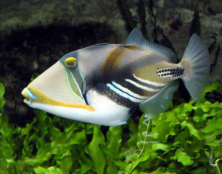 Picasso triggerfish in Maldives