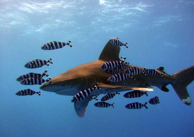 White tip shark, National Parks in Seychelles