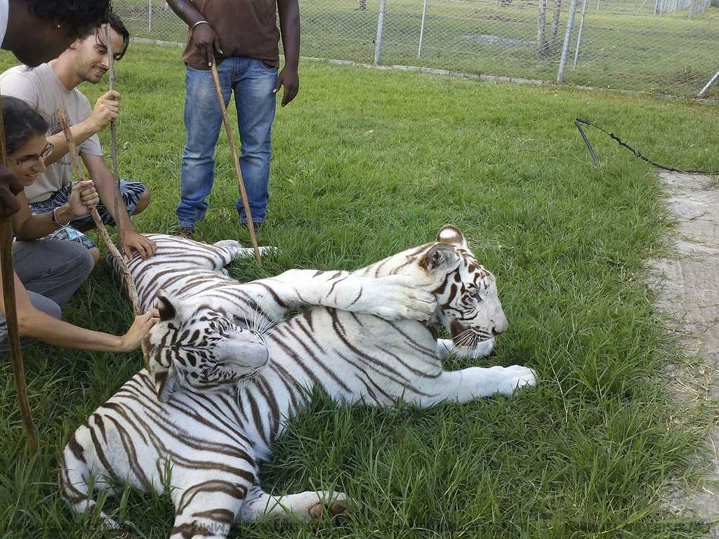 White Tigers in Casela World of Adventures