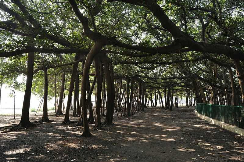 The Great Banyan Tree, Kolkata Botanical Gardens