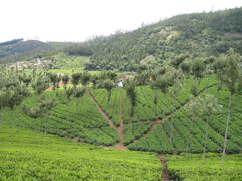 Nilgiri Tea Plantations