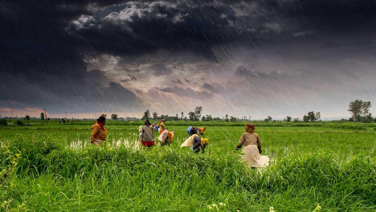 Green Paddy Fields in Madhya Pradesh