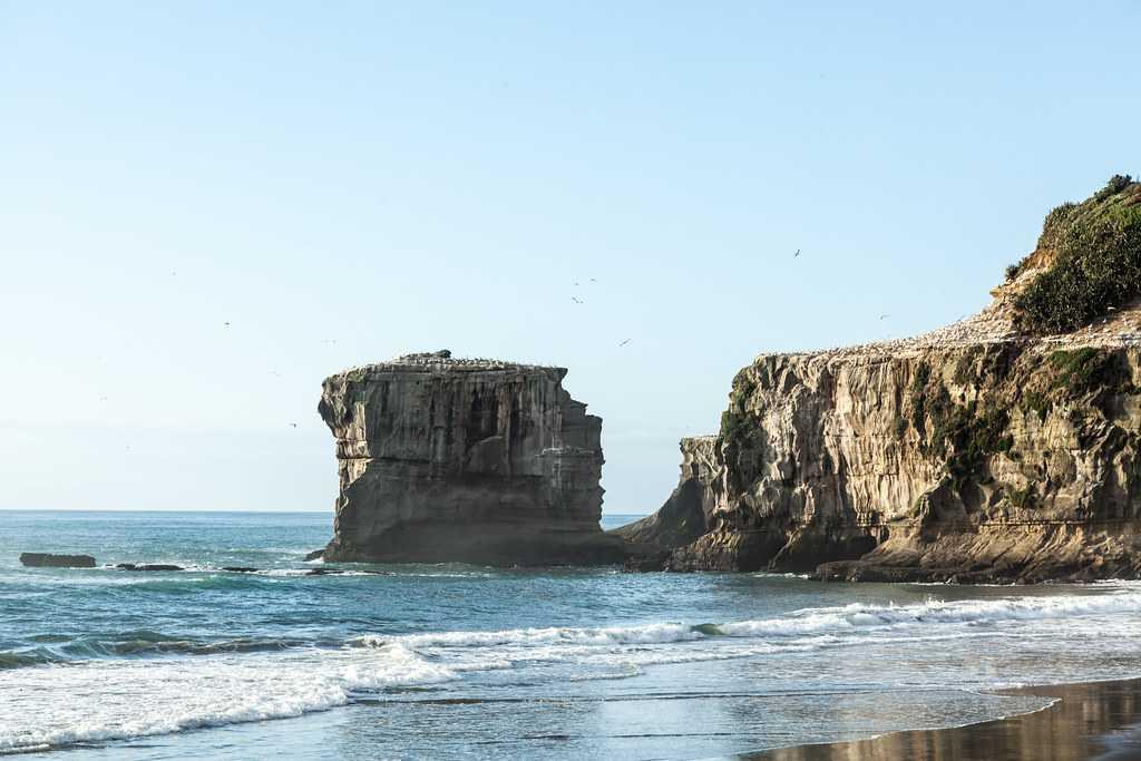 Gannet colony on Muriwai Beach