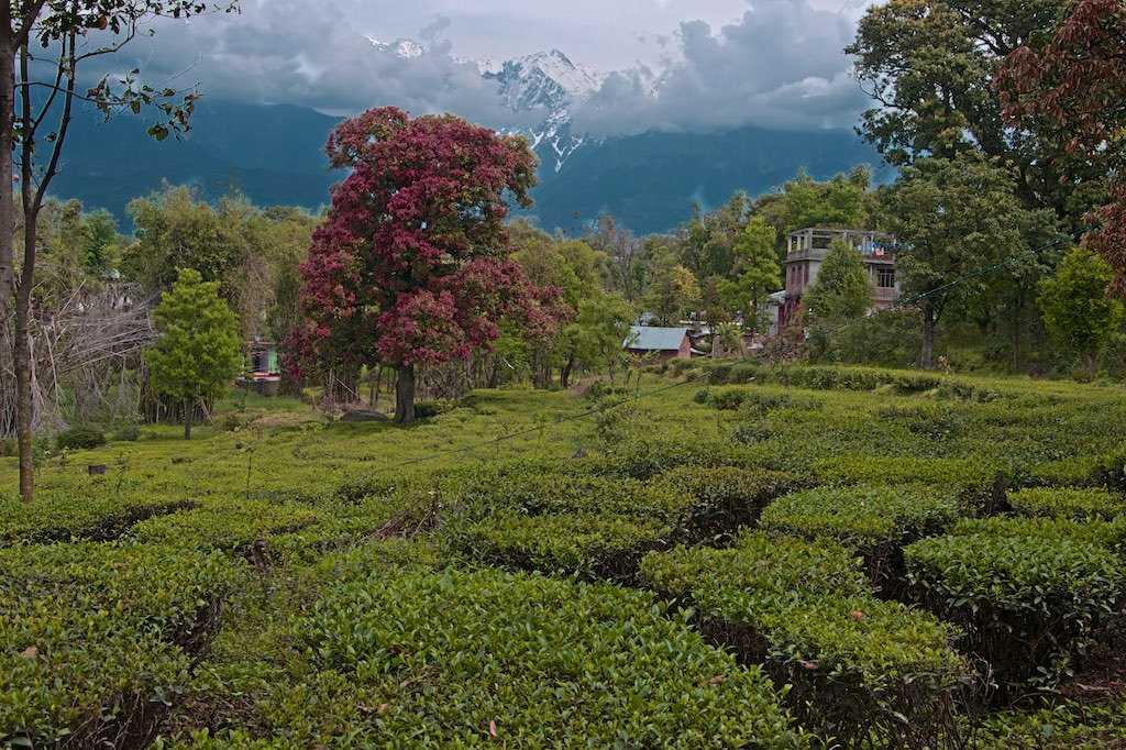 Tea Plantation in kangra