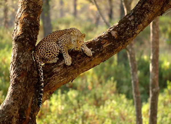Indian Leopard spotted during Wildlife Safari