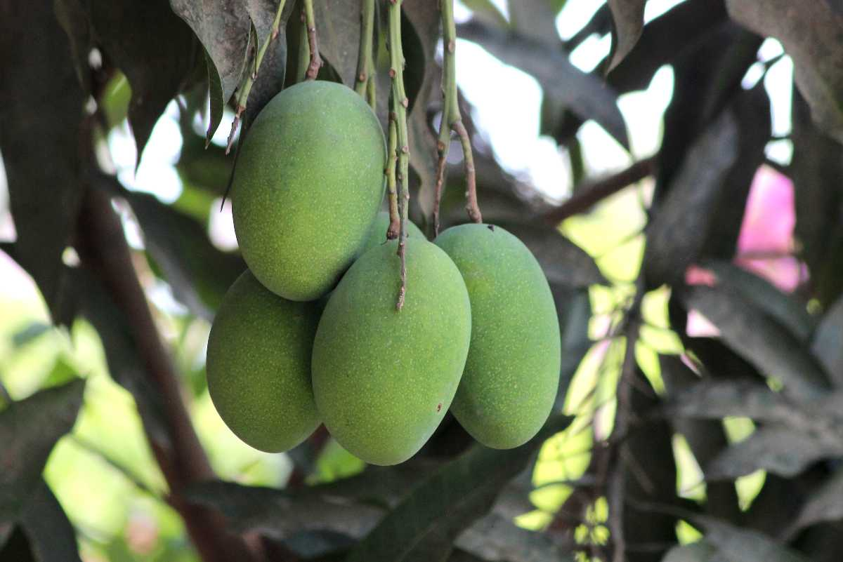 Amrapali Mangoes, Mangoes in India