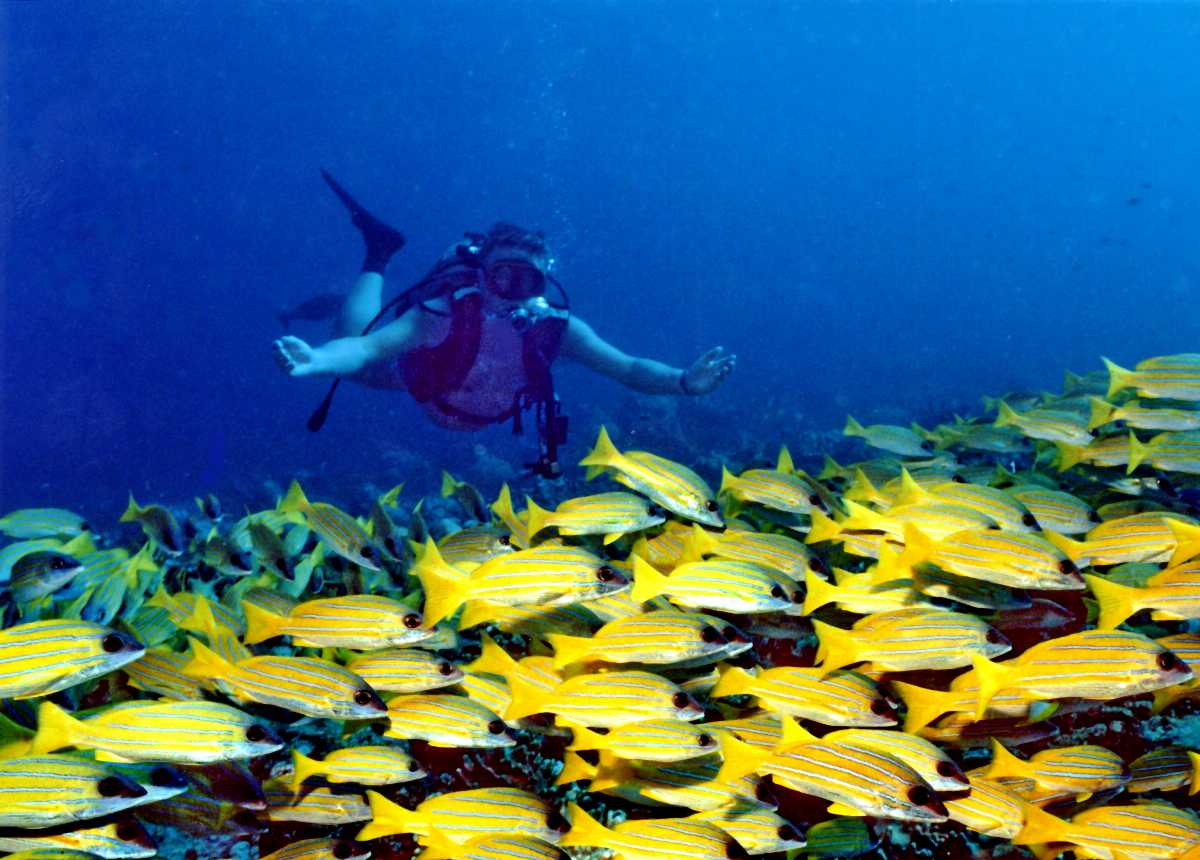 Underwater, yellow fish, scuba diving, sunrise in madives