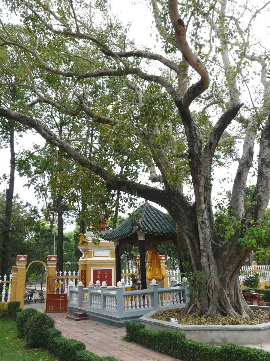 Bodhi Tree at Giac Lam Pagoda Garden