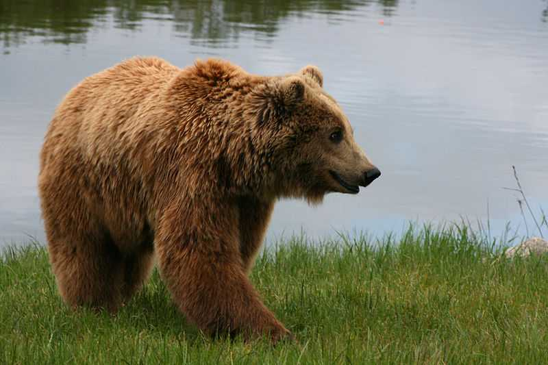 Brown Bear Conservation, Romania